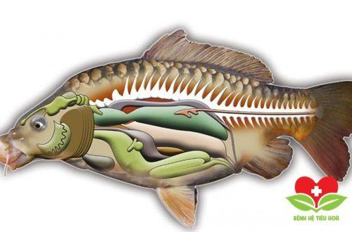 Nuốt mật cá tốt cho sức khỏe