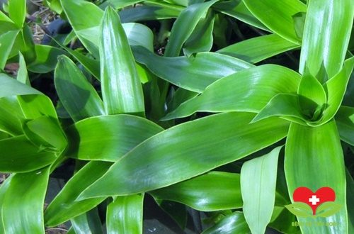 Cây lược vàng chữa viêm họng hạt