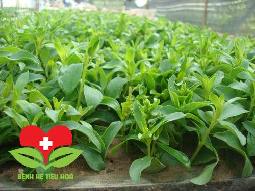 Cỏ ngọt cây thảo dược có nhiều tác dụng trị bệnh trong Đông Y