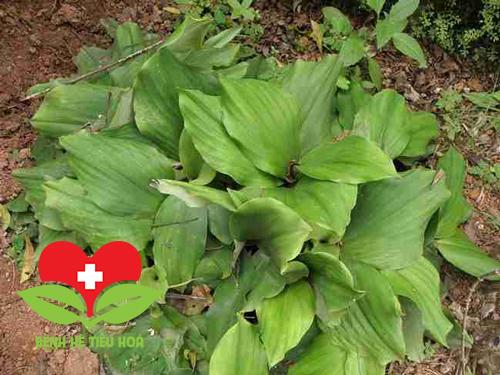 Cây địa liền được sử dụng rất phổ biến ở nước ta, nhiều người còn dùng địa liền như cây cảnh trong vườn
