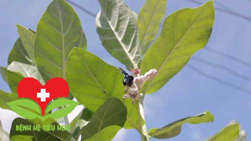 Tìm hiểu về công dụng của cây lá hen trong việc chữa ho, viêm phế quản