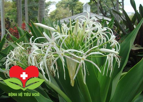 Náng hoa trắng có hình dáng bên ngoài giống với cây trinh nữ hoàng cung
