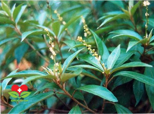 Tác dụng điều trị bệnh của cây khổ sâm trong y học cổ truyền