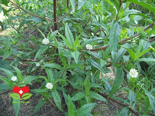 Những bài thuốc hay điều trị bệnh từ cây cỏ mực